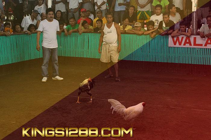 Adu Ayam Jago Live