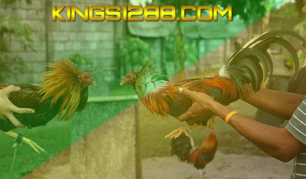 Ayam Laga Live SV388