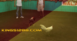 Live Streaming Sabung Ayam