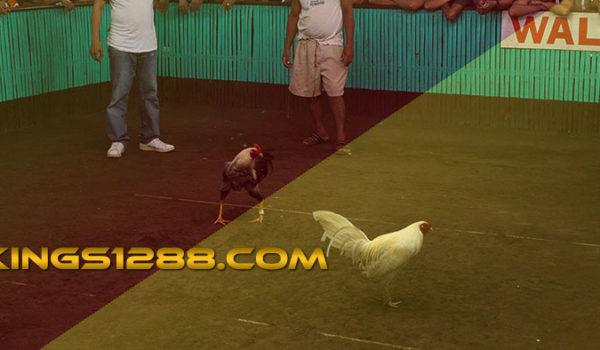 Live Streaming Sabung Ayam