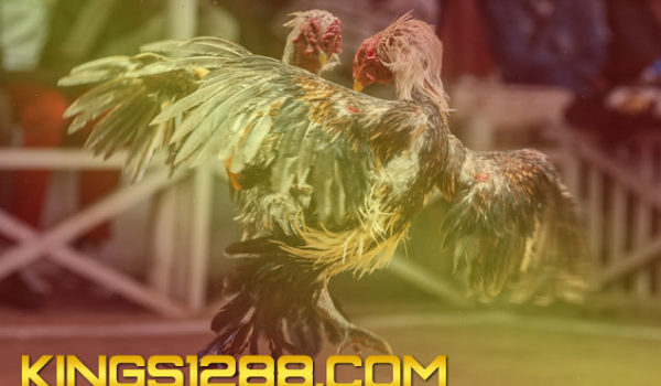 Sabung Ayam Player Banker