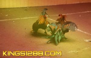Turnamen Sabung Ayam